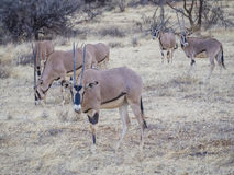 Oryx Royalty-vrije Stock Afbeeldingen