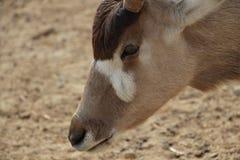 Oryx lizenzfreie stockfotografie