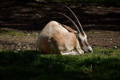 Oryx Στοκ εικόνα με δικαίωμα ελεύθερης χρήσης