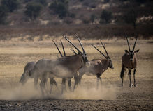 Oryx Foto de Stock Royalty Free