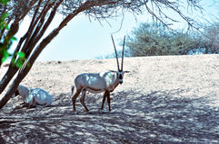 Oryx fotografia de stock