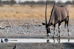 Oryx Imágenes de archivo libres de regalías