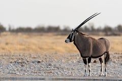 Oryx Imagen de archivo libre de regalías