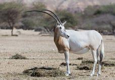 Oryx adulte de cimeterre du Sahara (leucoryx d'oryx) Photographie stock libre de droits