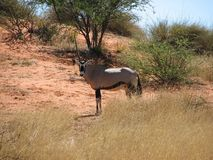 Oryx in African savannah Stock Images