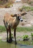 Oryx Antelope. Young Oryx Antelope Standing Near Water Hole Stock Photo