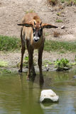 Oryx Antelope. Young Oryx Antelope Standing In Water Hole Stock Photo