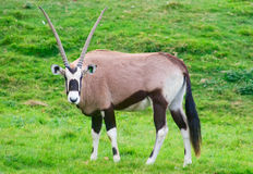 Oryx antelope. (Oryx sp.) stands Stock Photo