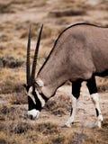 Oryx antelope. Side view of oryx antelope (Oryx gazella Stock Photos