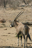 Oryx antelope. Male oryx antelope in the african bushland, Namibia stock photography