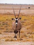 Oryx antelope. Front view of oryx antelope (Oryx gazella Stock Photos