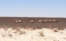 Oryx antelope. Herd of Oryx antelope in the Kalahari desert Stock Photos