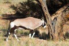 Oryx antelope hitting a tree. Namibia Stock Photography