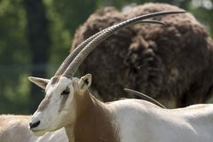 Oryx antelope on a meadow. In a zoo in Italy Royalty Free Stock Images