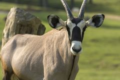 Oryx antelope on a meadow. In a zoo in Italy Stock Images