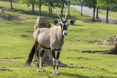 Oryx antelope on a meadow. In a zoo in Italy Stock Photography