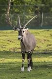 Oryx antelope on a meadow. In a zoo in Italy Royalty Free Stock Photo