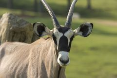 Oryx antelope on a meadow. In a zoo in Italy Royalty Free Stock Photos