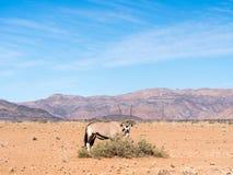 Oryx antelope in Namib Desert, Namibia, Africa. Single oryx antelope in Namib Desert, Namibia, Africa Stock Image