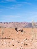 Oryx antelope in Namib Desert, Namibia, Africa. Single oryx antelope in Namib Desert, Namibia, Africa Stock Photos