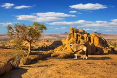 Oryx antelope in the Namib desert. Travel to Africa. Picturesque stones in the Namib desert. Long-legged Oryx antelope. The concept of active, extreme and photo royalty free stock image