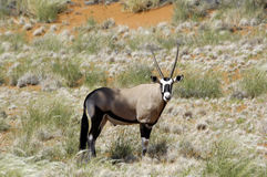 Oryx antelope in Namibia. Oryx antelope in the orange dunes of Namibia Stock Photo