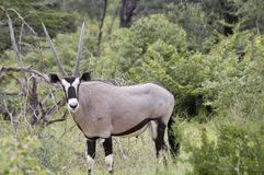 Oryx antelope in Namibia. Closeup from an oryx antelope in Namibia, Africa Royalty Free Stock Photography