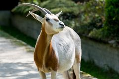 Oryx antelope posing on grey backgound Royalty Free Stock Images