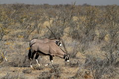 Oryx antelope in the savannah of the Etosha Park. In Namibia Royalty Free Stock Photography