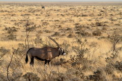 Oryx antelope in the savannah of the Etosha Park in Namibia Royalty Free Stock Photos