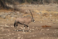 Oryx antelope in the savannah of the Etosha Park in Namibia. In Africa Stock Images