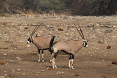 Oryx antelope in the savannah of the Etosha Park in Namibia. In Africa Stock Image