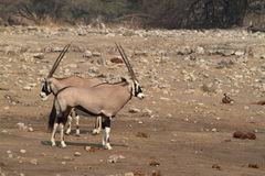 Oryx antelope in the savannah of the Etosha Park in Namibia. In Africa Royalty Free Stock Photo