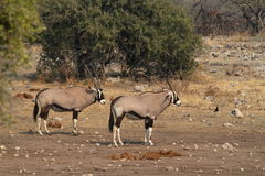 Oryx antelope in the savannah of the Etosha Park in Namibia. In Africa Stock Photography