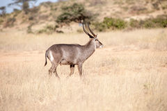 Oryx antelope Royalty Free Stock Photo