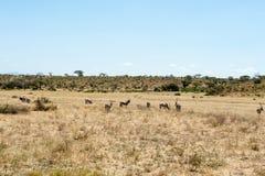 Oryx antelope Royalty Free Stock Image
