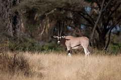 Oryx antelope Royalty Free Stock Photos