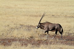 Oryx antelope in the savannah of Namibia Stock Images
