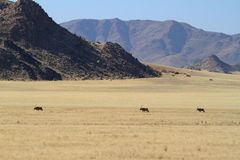 Oryx antelope in the savannah of Namibia. An Oryx antelope in the savannah of Namibia Stock Images