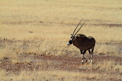 Oryx antelope in the savannah of Namibia. An Oryx antelope in the savannah of Namibia Royalty Free Stock Photo