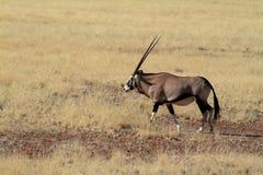 Oryx antelope in the savannah of Namibia. An Oryx antelope in the savannah of Namibia Royalty Free Stock Photos