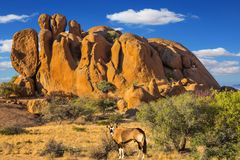Oryx antelope in the Spitzkoppe desert. Travel to Africa. Picturesque stones in the Spitzkoppe desert. Long-legged Oryx antelope. The concept of active, extreme stock image