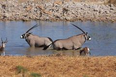 Oryx Antelope. In a Waterhole Stock Photos