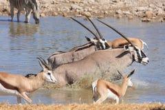 Oryx Antelope. In a Waterhole Royalty Free Stock Photos