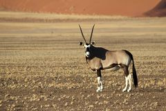 An Oryx antelope - Sossusvlei. Oryx Antelope - Wildlife of Namibia with large horns and pebble ground with the stunning sossusvlei dunes in the distance. African stock photos