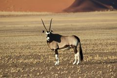 Oryx Antelope - Namibia - Sossusveli - Africa. Oryx Antelope - Wildlife of Namibia with large horns and pebble ground with the stunning sossusvlei dunes in the stock photo