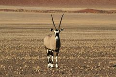 Oryx Antelope - Namibia - Sossusveli - Africa. Oryx Antelope - Wildlife of Namibia with large horns and pebble ground with the stunning sossusvlei dunes in the stock images