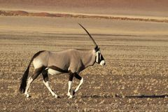 Oryx Antelope - Namibia - Sossusveli - Africa. Oryx Antelope - Wildlife of Namibia with large horns and pebble ground with the stunning sossusvlei dunes in the royalty free stock photography