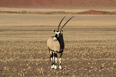 An Oryx antelope - Sossusvlei. Oryx Antelope - Wildlife of Namibia with large horns and pebble ground with the stunning sossusvlei dunes in the distance. African royalty free stock photography