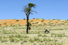 Oryx antelope in dunes of Namibia. Oryx antelope in a dune in Wolwedans, Namibia Royalty Free Stock Image